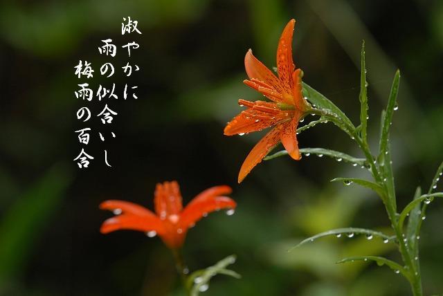 ヒメユリ4
