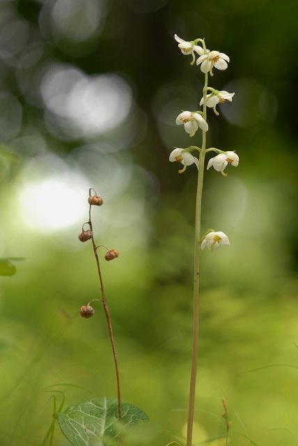 イチヤク草1