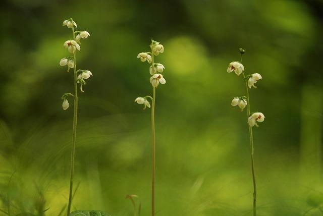 イチヤク草5
