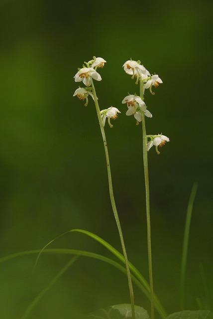 イチヤク草6