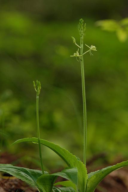 クモキリ草1
