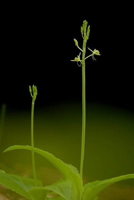 クモキリ草1-2