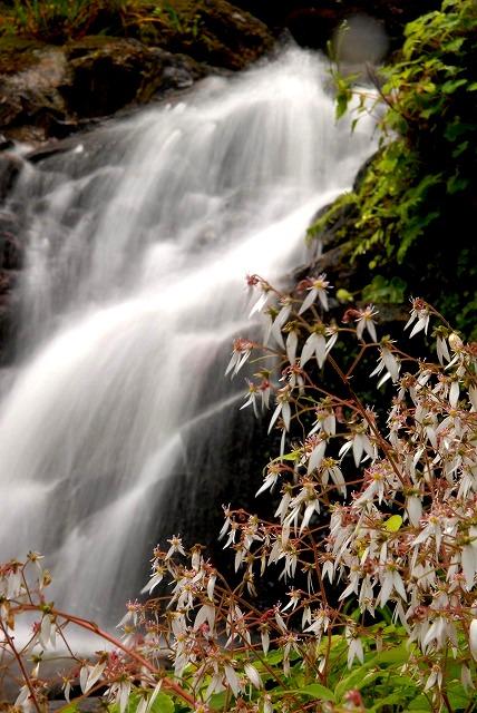 滝とユキノシタ2