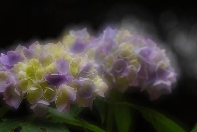 紫陽花5-2