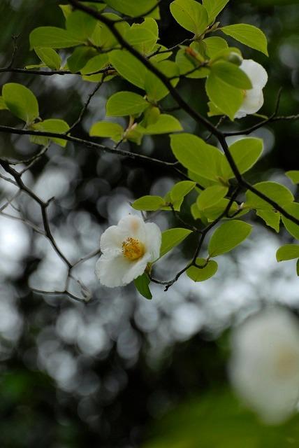 沙羅の花5