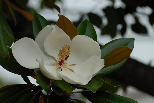 泰山木の花1