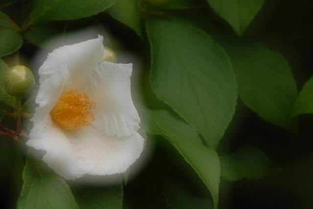 沙羅の花1-2