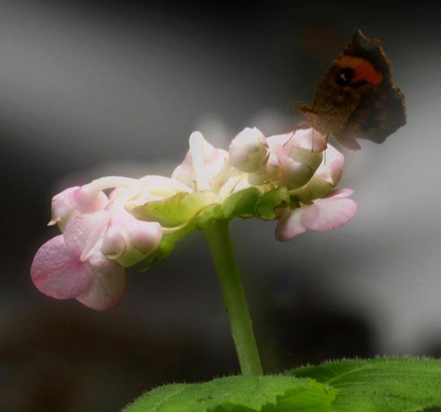 ピンクのギンバイソウとテング蝶