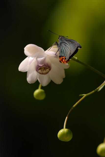 蓮華升麻とアオバセセリ1