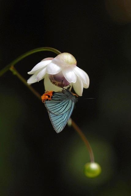 蓮華升麻とアオバセセリ2