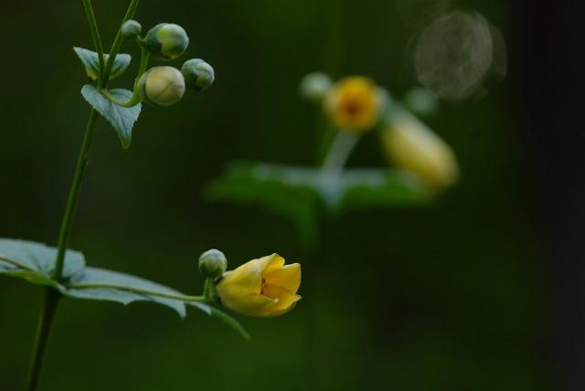 黄 レンゲショウマ1