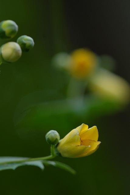 黄 レンゲショウマ2