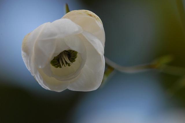 白い蓮華升麻4