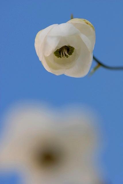 白い蓮華升麻6