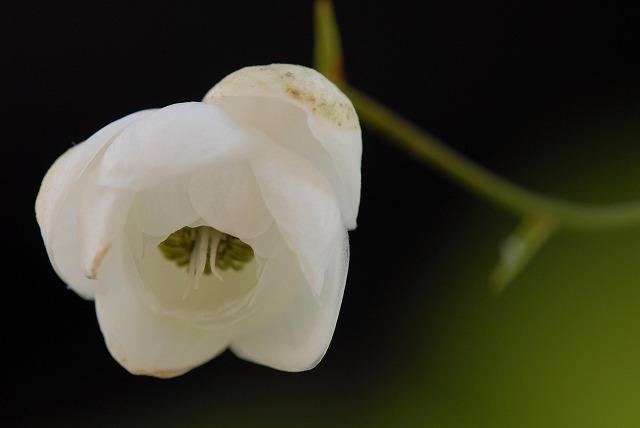 白い蓮華升麻10