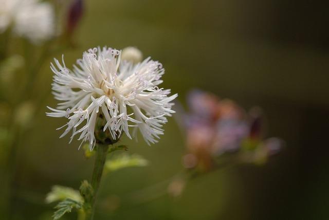 白花タムラソウ1