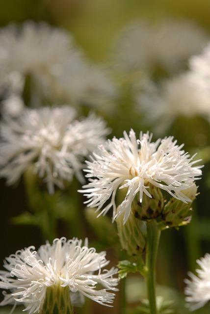 白花タムラソウ2