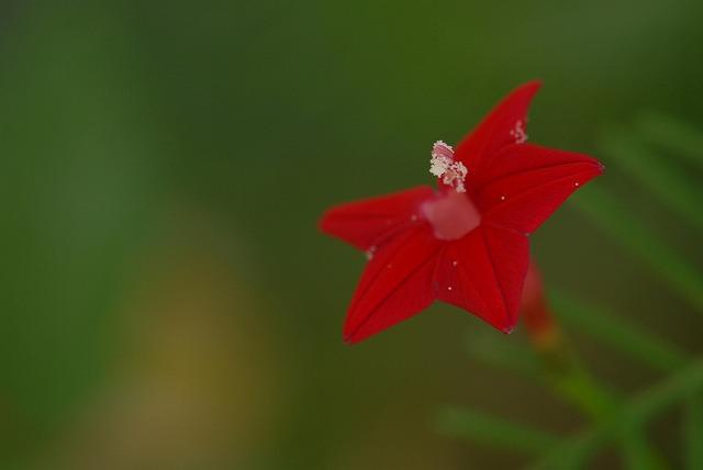 ルコウ草1