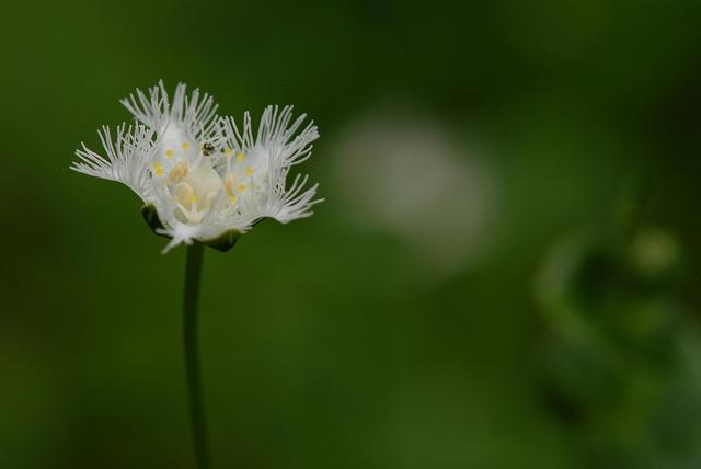 シラヒゲ草2