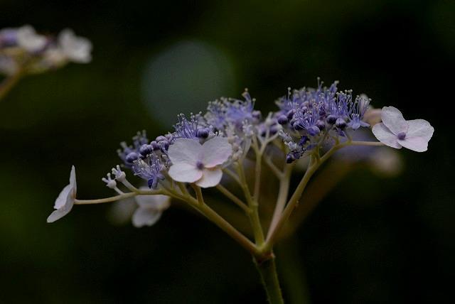 玉紫陽花3