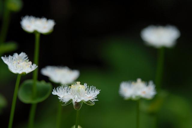 シラヒゲ草1