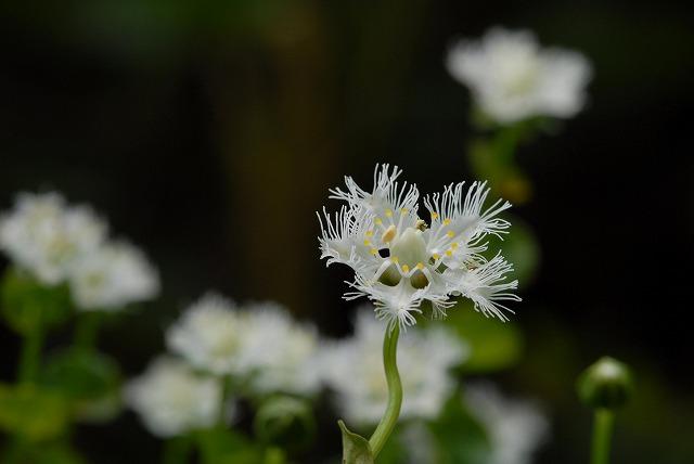 シラヒゲ草3