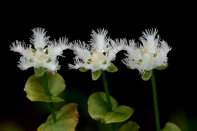 シラヒゲ草6