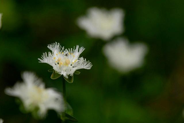 シラヒゲ草8