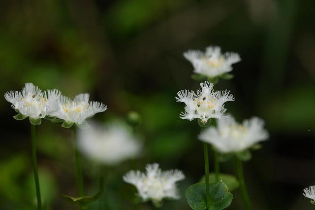 シラヒゲ草9