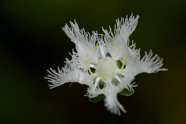 シラヒゲ草10