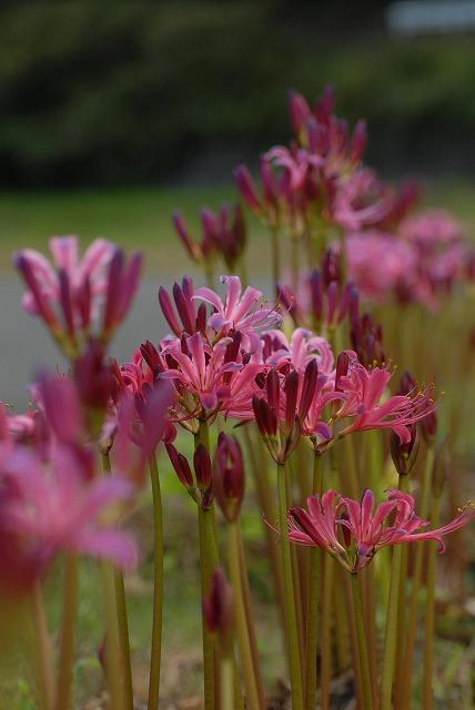 ピンク色のリコリス1