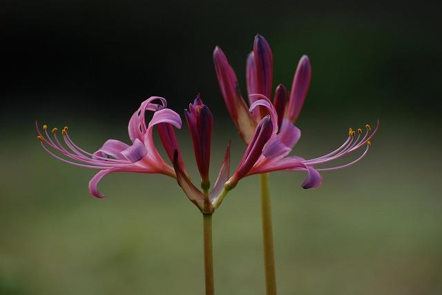 ピンク色のリコリス4