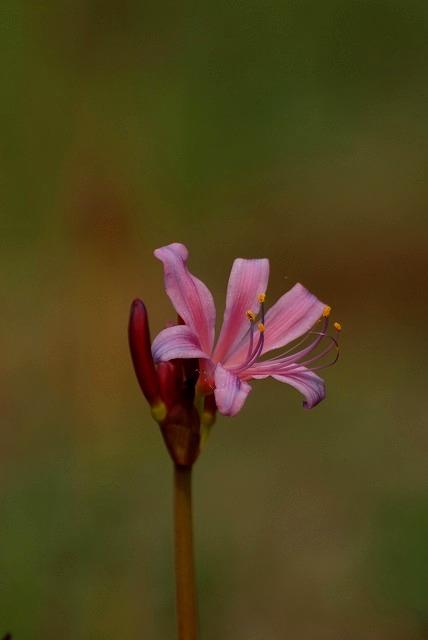 ピンク色のリコリス6