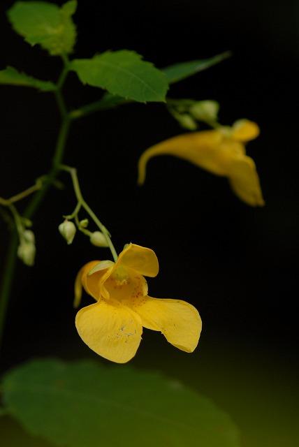 黄バナツリフネ草1