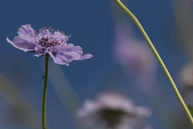 マツムシ草6