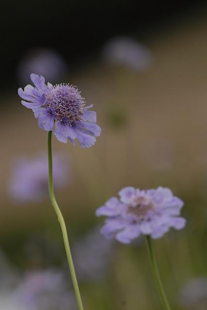 マツムシ草9