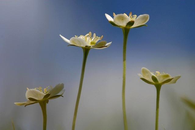 ウメバチ草15