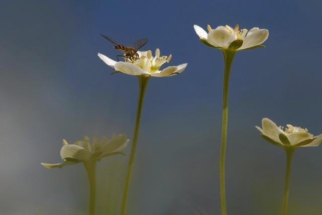 ウメバチ草16