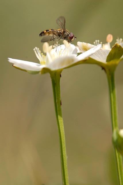 ウメバチ草17