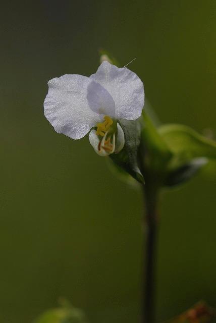 白い露草3