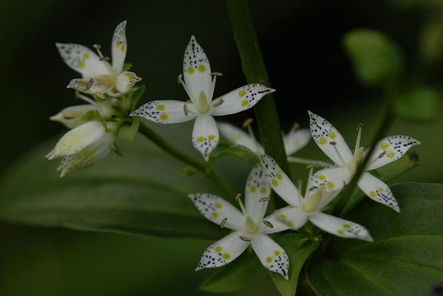 アケボノ草1