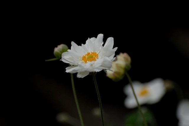 秋明菊の八重1