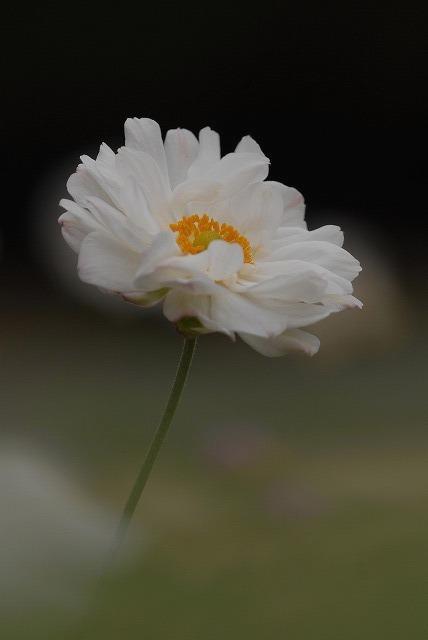 秋明菊の八重2