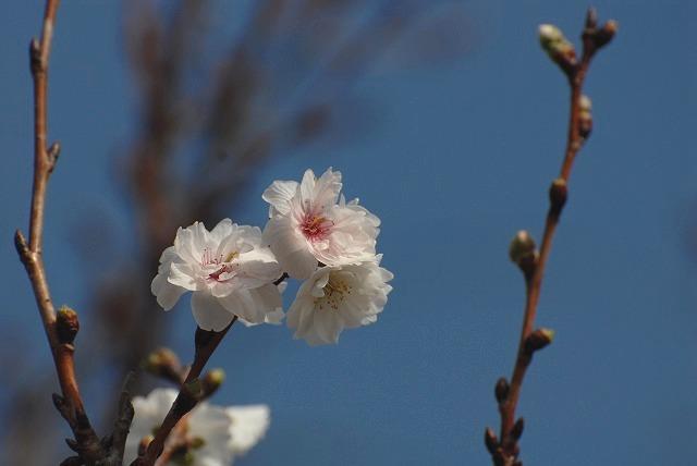 こぶく桜1
