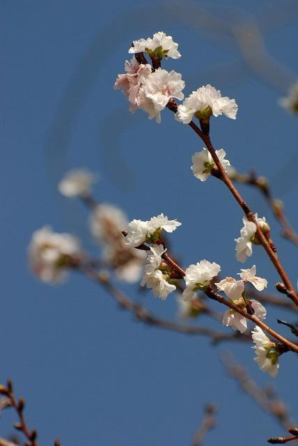 こぶく桜2