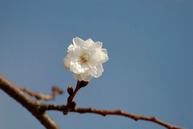 こぶく桜3