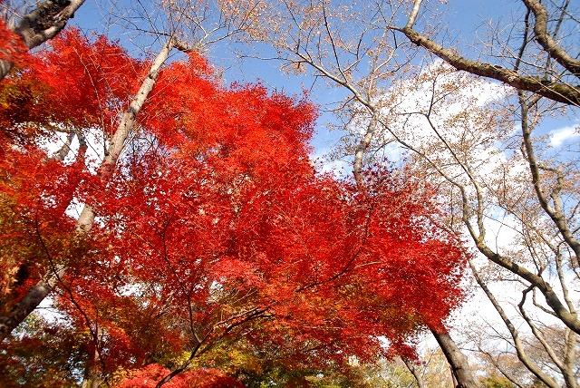 半田山の紅葉1