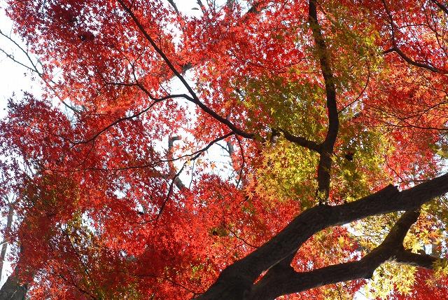 半田山の紅葉10