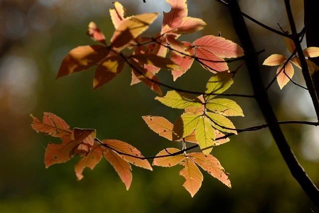 樫の木の紅葉1
