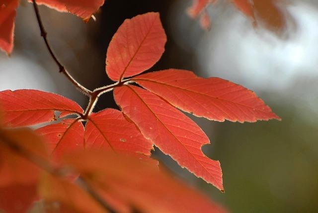 樫の木の紅葉2